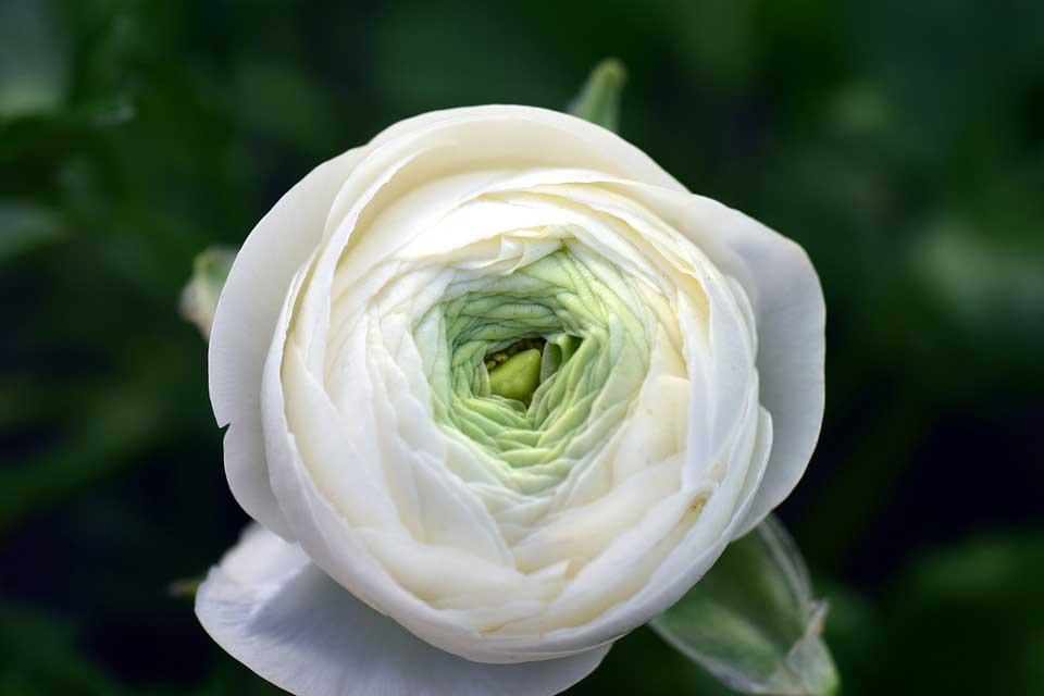Tendenze Matrimoni 2019: Il Bouquet da sposa con Ranuncoli