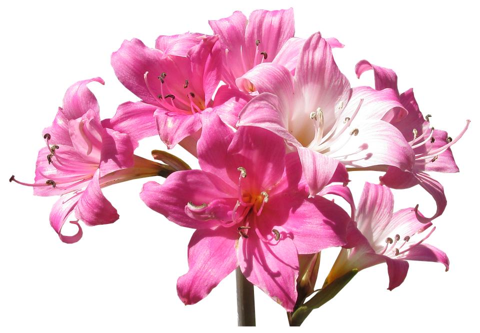 La belladonna: una pianta letale dal fascino secolare