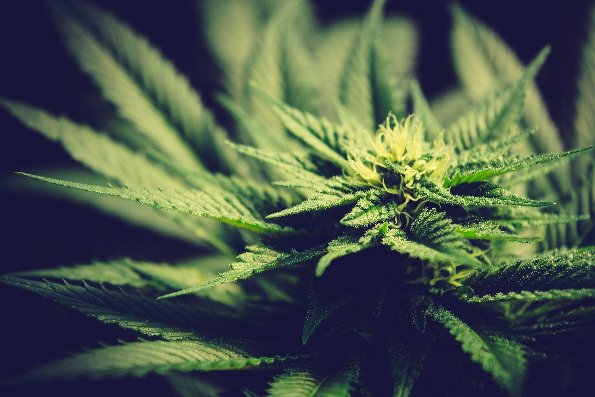 Cannabis legale: scopriamo che cos'è