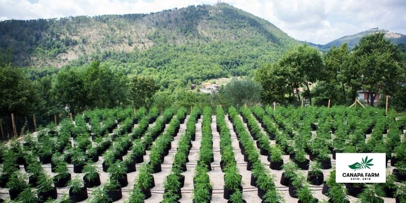 coltivazione-cannabis-legale-canapa-farm